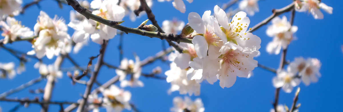 2015-03-Life-of-Pix-free-stock-photos-Flowers-three-almond_blossom-Ivan-Ivankovic